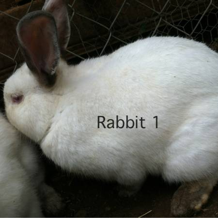 Trading rabbits Californian and mini Rex  (Albany TX)
