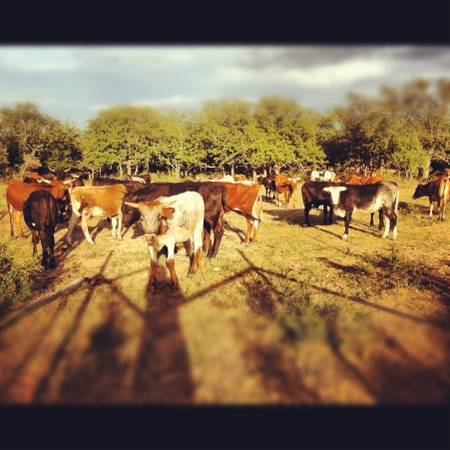 Roping Cattle for Lease - $35 (Coleman)