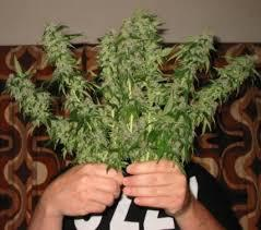 real hook up vendor for medicated marijuana strains available at 571 252 9841