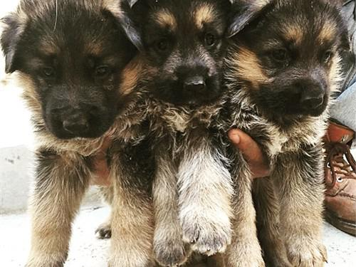 300  German Shepherd puppies