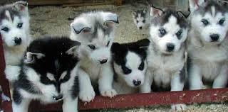 Akc registered siberian husky g puppies