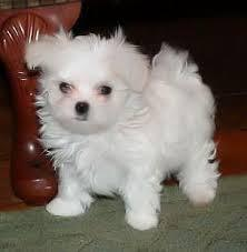 Healthy Maltese Puppies  Call or text 779 206-7226