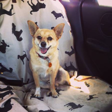 Lost Chihuahua  Dyess AFB Housing