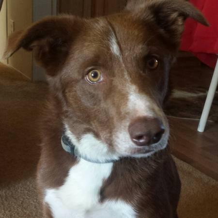 Missing Border Collie Mix