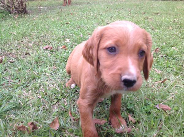 Irish SetterBrittany Mix Puppies (CentralGreenwell Springs)