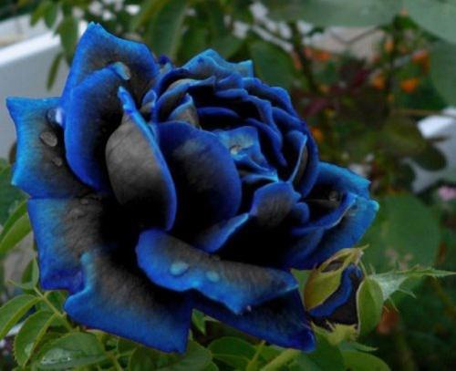 5  FREE Midnight Rose Seeds With Every Order -  Angel Trumpets Huge Trumpet Flowers