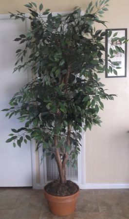 7 FOOT TALL SILK FAUX FICUS TREE - $40 (BATON ROUGE)