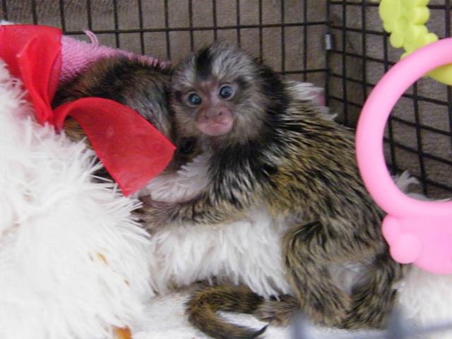 Adorable Marmoset M O N K E Y S-