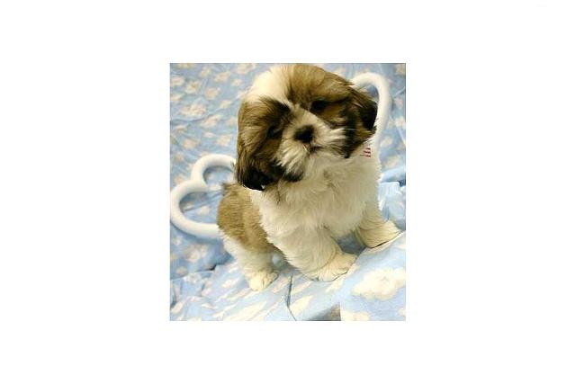 Two Gorgeous shih tzu puppies for sale