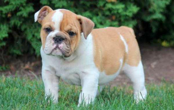 150  Male And Female English Bulldog Puppies For Good Home