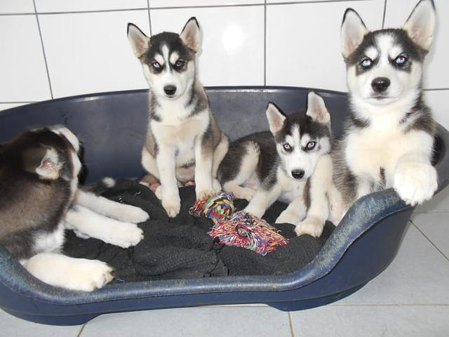 350  AKC Registered Siberian Husky Puppies TEXT US AT 612 217-4208