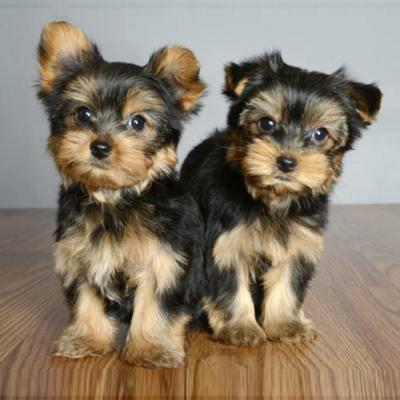 Charming Teacup Yorkie - babies -  250    text or call 769 303-0348