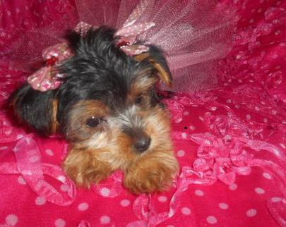 Male and Female Yorkie Puppies for Re-homing