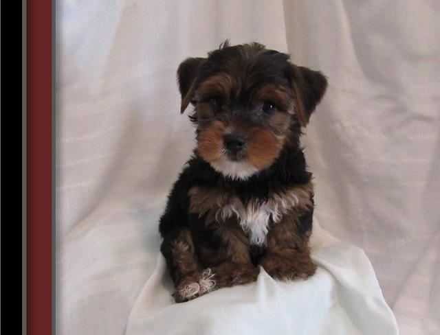 Purebred Tiny Yorkie Puppies 859 740-2998