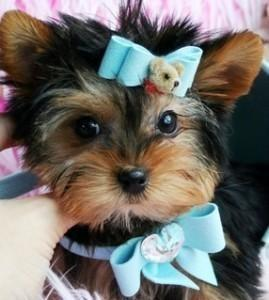Trained Yorkshire Terrier Puppies For Adoption You Can Text Me At 240 704-7809