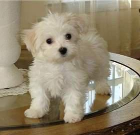 gtThe Maltese is spirited  lively and playful