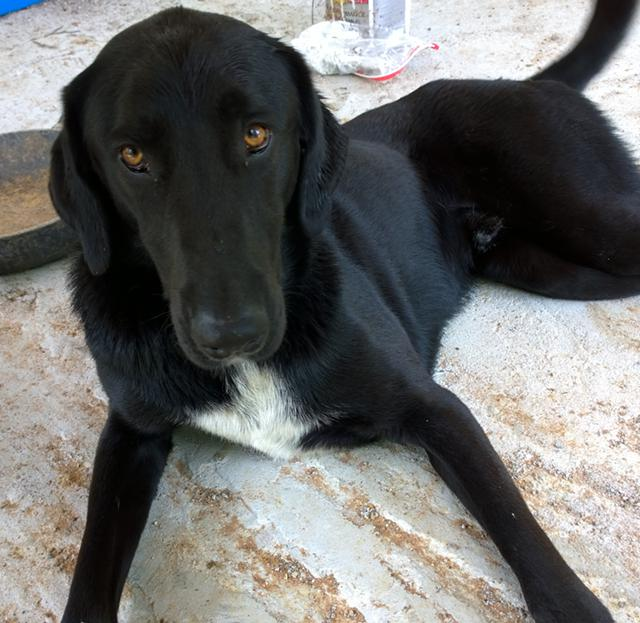 Found  Beautiful Black Male Lab