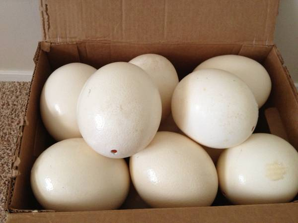 Ostrich egg shells for decorating -  20  San Angelo  TX
