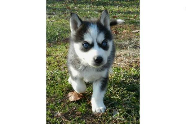 Adorable Siberain Husky