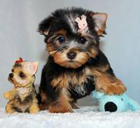 2014 best Yorkiess for Best Homes TX