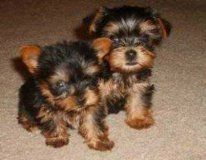 Yorkie Puppies for Sale   Text us at  657  215-5936