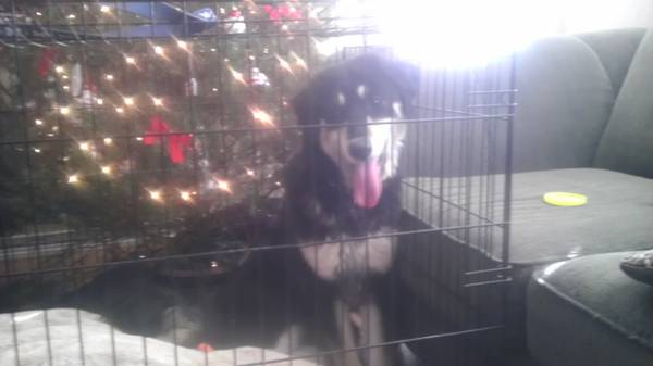 Lost Black and White Border Collie Mix  College Hills