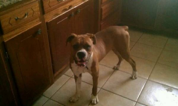 Found Male Boxer  by Lee