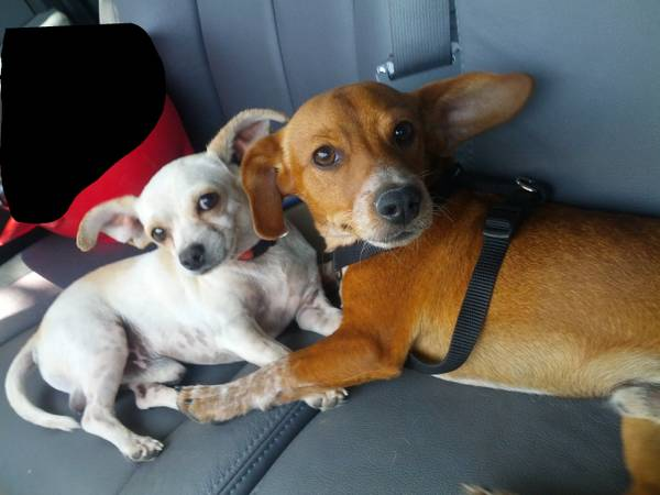 FOUND  2 small dogs  FREE to good home  Odessa