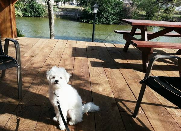 Lost Poodle  Cotton   Brownsville Morning side  amp  Apollo