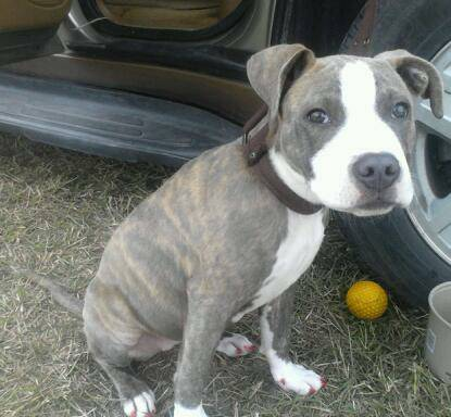 Bluenose pup for sale   -   x0024 200  Harlingen
