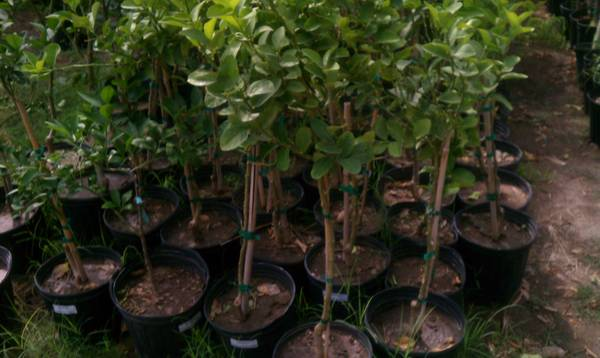 SPECIAL ANY CITRUS TREE ONLY $10 - x002410 (77 FLEA MARKET)