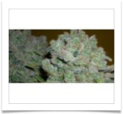 235  Medicinal Acapulco Gold Kush avaiable 10 ounce - 443 273-1861