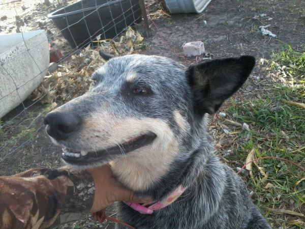 Blue Heeler, female - $50 (Santa Rosa, Texas)