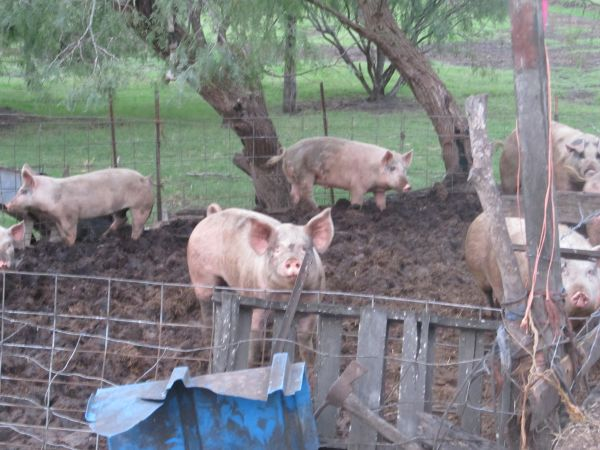 Hogs for sale Se venden Marranos (Rio Hondo)
