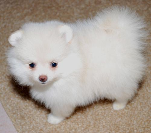 300  Akc Registered Pomeranian Puppies Available 774 613-2974