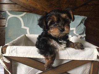 Cheap Male and Female Yorkie puppies available NOW