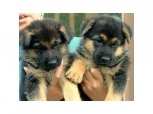 300  AKC East German Shepherd puppy for sale