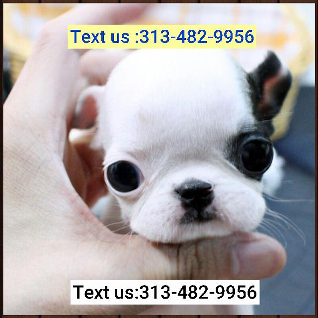 Amazing French Bulldog puppies Available 313 482-9956