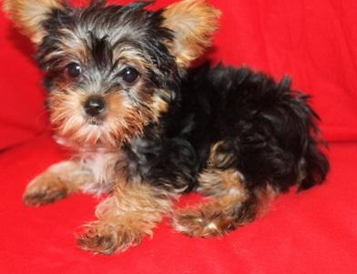 Cutest most adorable Yorkie Puppies available