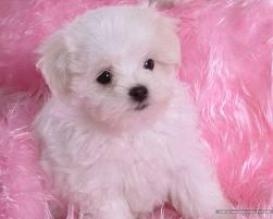 Male and Female Maltese Puppies  Call 779 206-7226