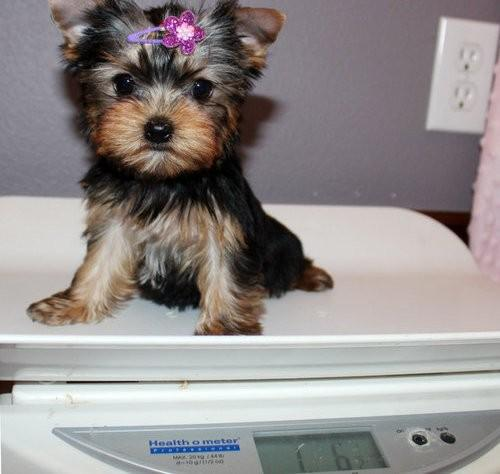 Outstanding AKC black and Tan Teacup Yorkie puppies