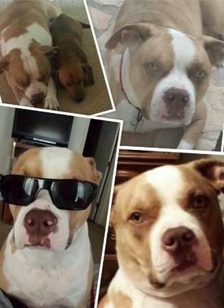 400 REWARD - LOST PITBULL  HARLINGEN
