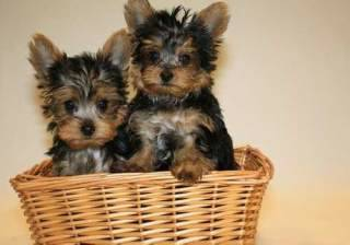 Yorkshire Terrier For Adoption - $200 (usa)