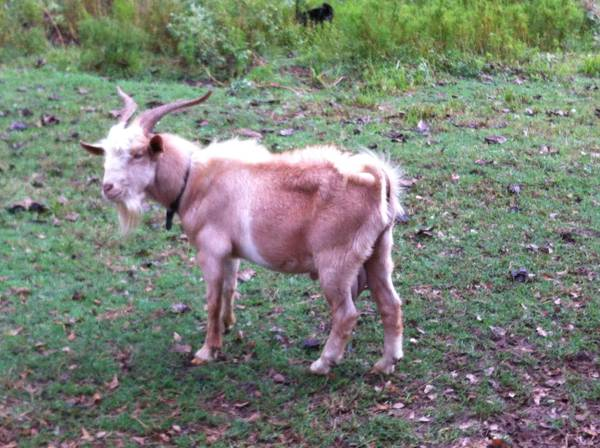 Spanish Buck Goat for Sale -   x0024 140  Pollock