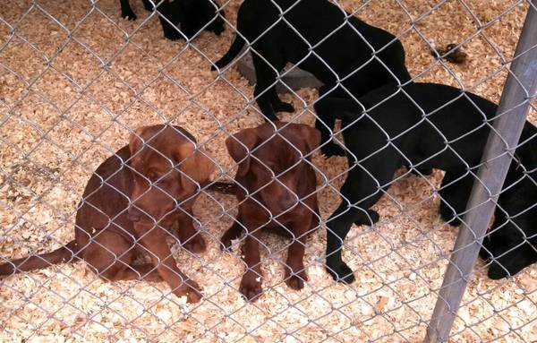 purebred lab puppies REDUCED   Ruston