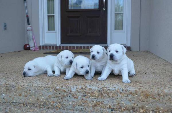 AKC white lab puppies   Brandon