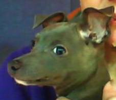 UPDATE Italian Greyhound blue male pup  marksville