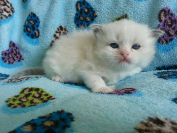 tica registered ragdoll kittens     300