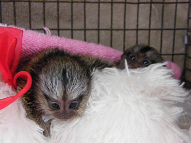 2 Adorable Marmoset M O N K E Y S-