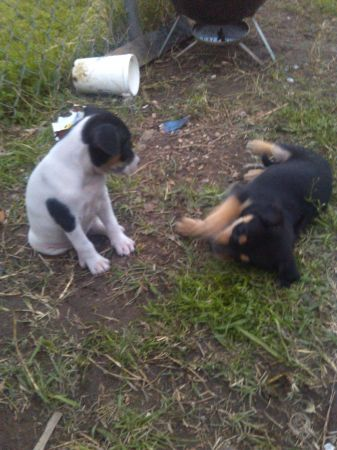 Free puppies for a good home (BCS)